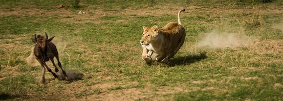 leonessa che attacca gazzella