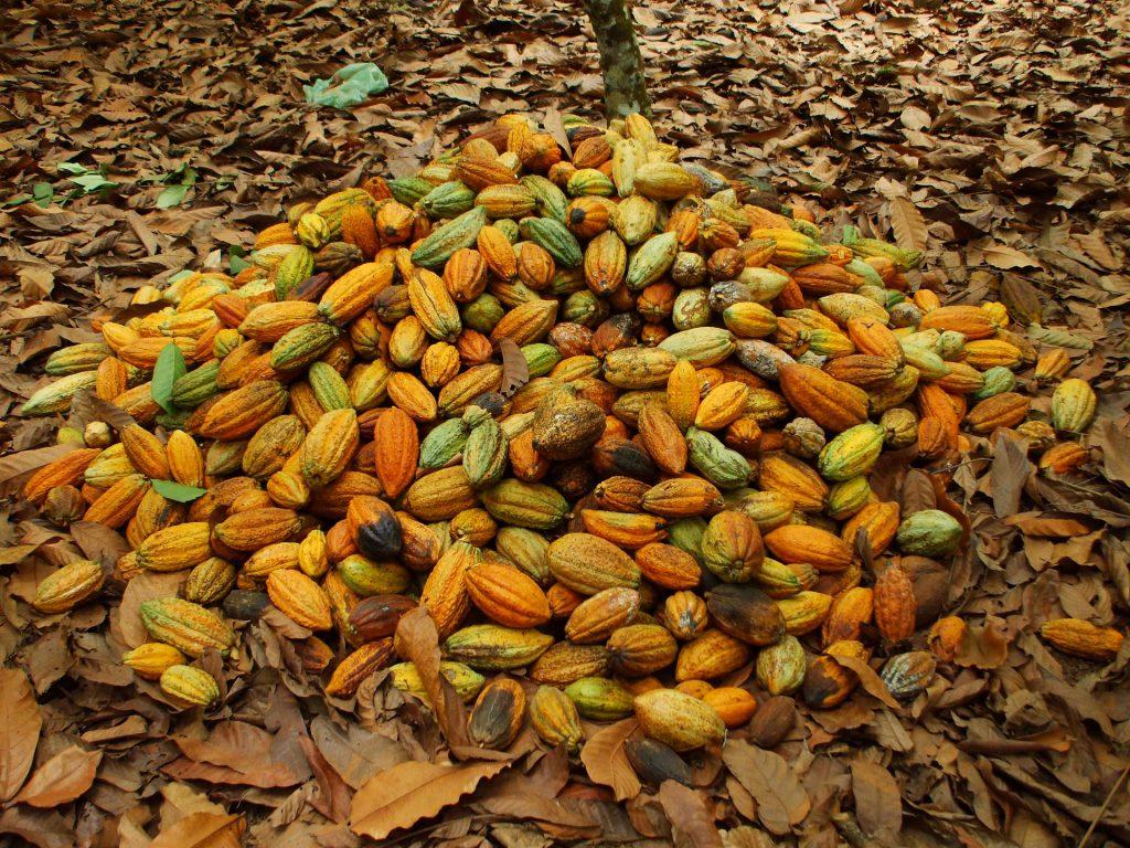 raccolta cacao